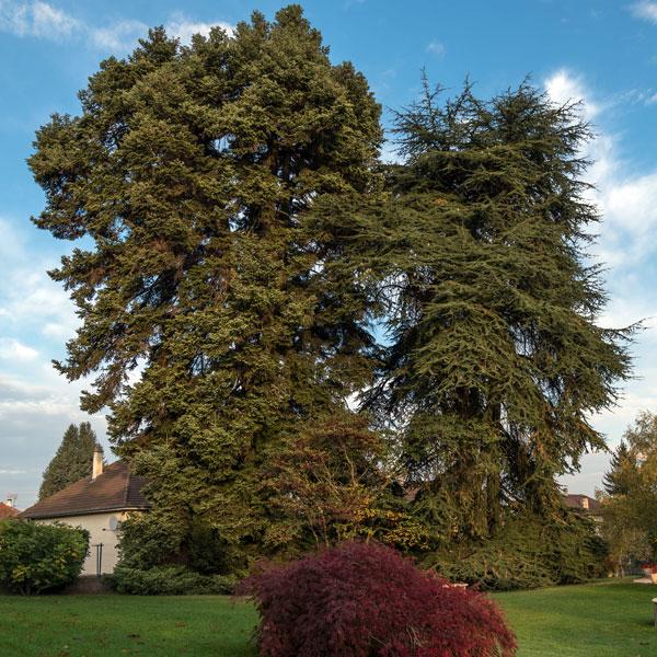 elagage taille raisonn e d 39 arbre bourgoin vienne is re 38. Black Bedroom Furniture Sets. Home Design Ideas